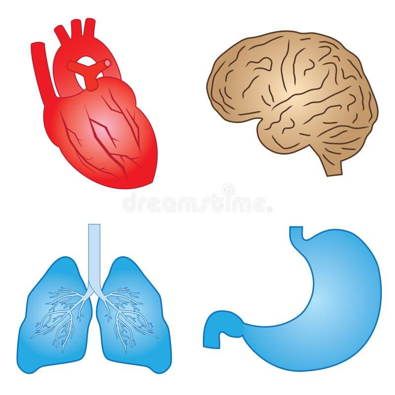 Human organs. stock illustration