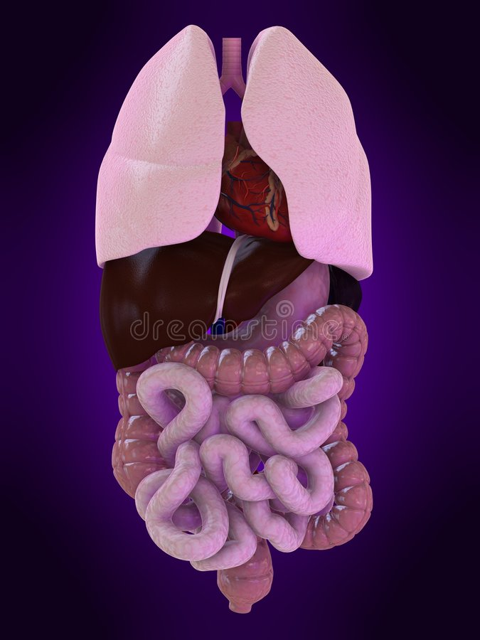 Human organs stock photos