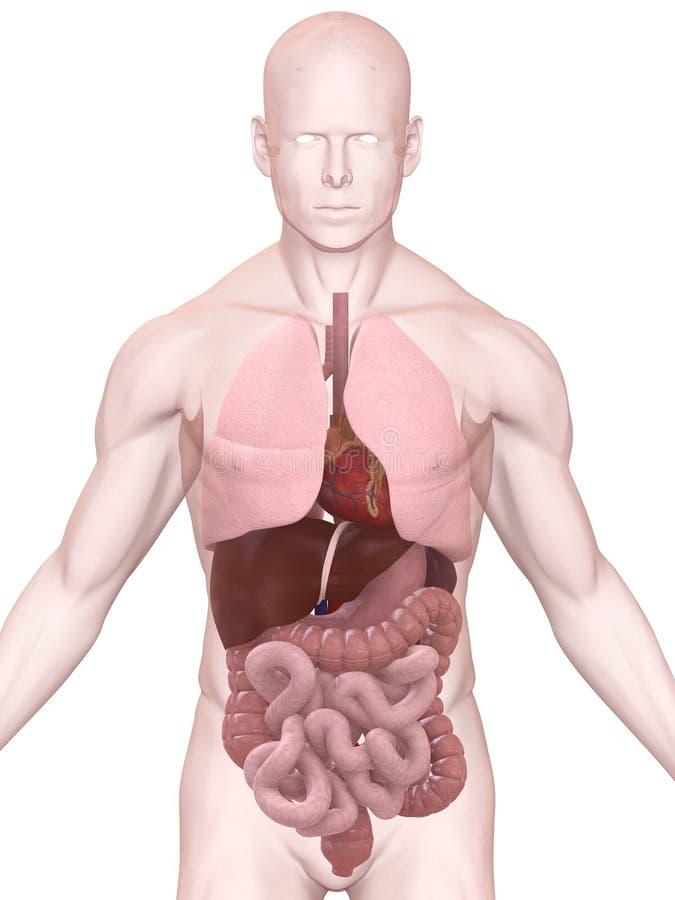 Human organs royalty free illustration