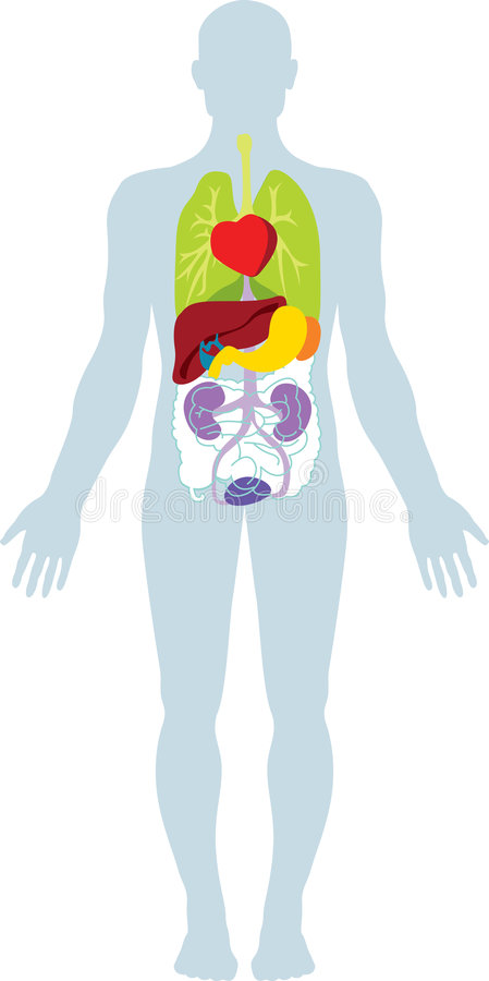 Human organs vector illustration