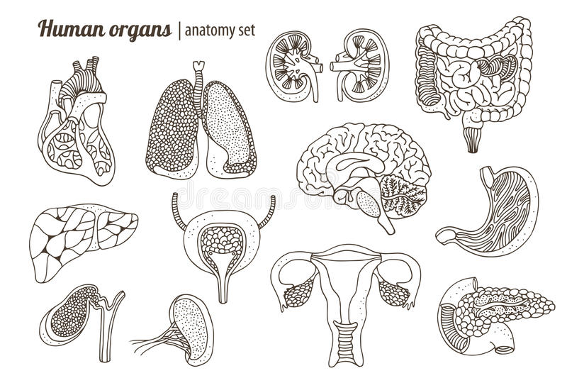 Human organs anatomy set royalty free illustration