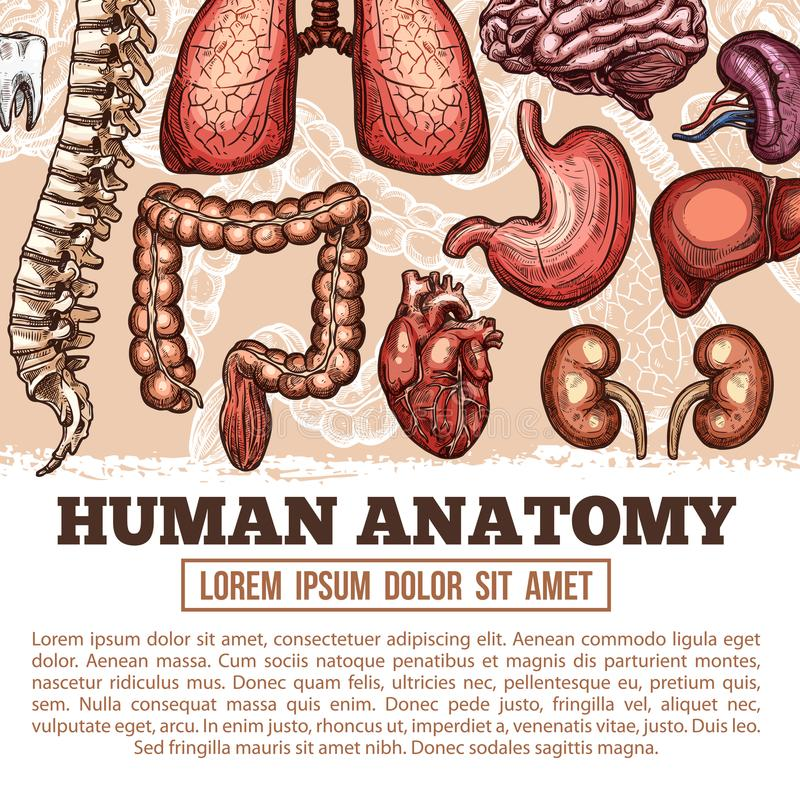 Human organs anatomy vector sketch poster. Human anatomy medical poster of sketch body organs and joint bones. Vector design of digestive, cardiovascular and stock illustration