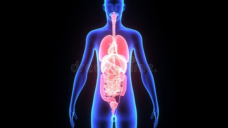 Human Organs stock video. Illustration of colon, internal - 50124553