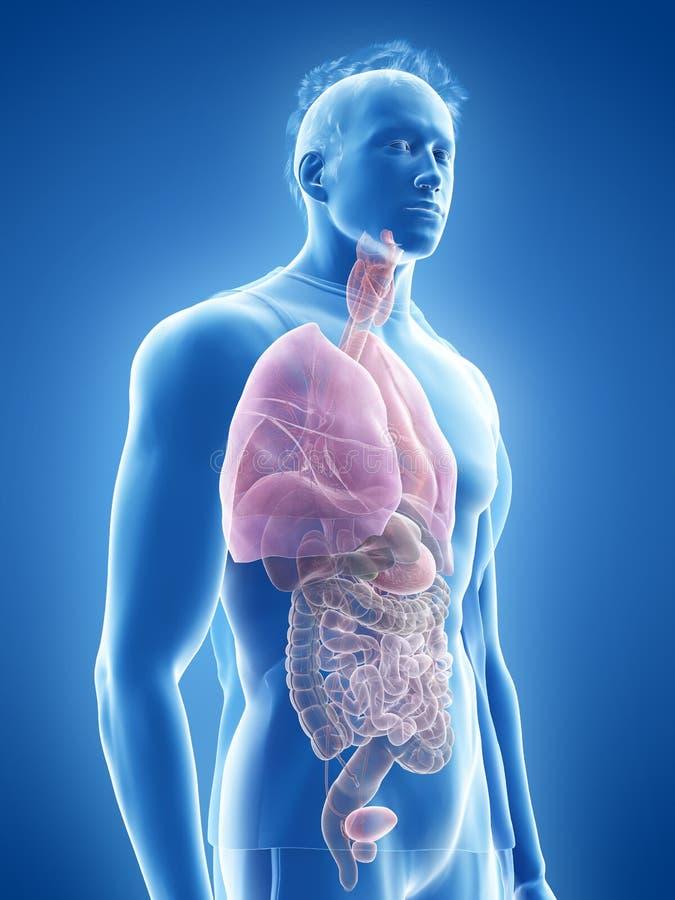 The human organs royalty free illustration