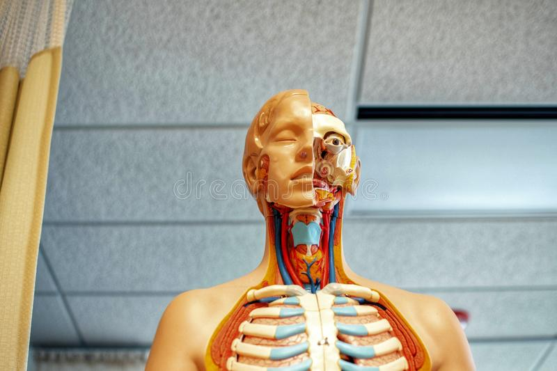 Human organs explanation replica. stock images