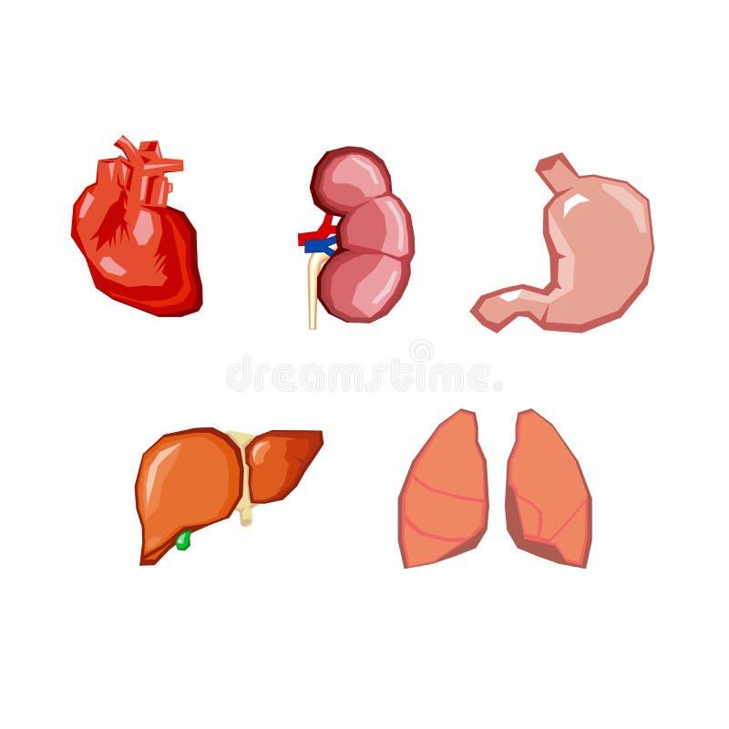 Human Organs. Internal Organs Set. Human Anatomy, Internal Parts Of ...