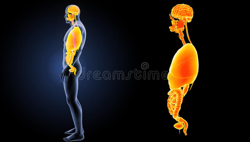 Human Organs Zoom With Body Lateral View Stock Illustration ...