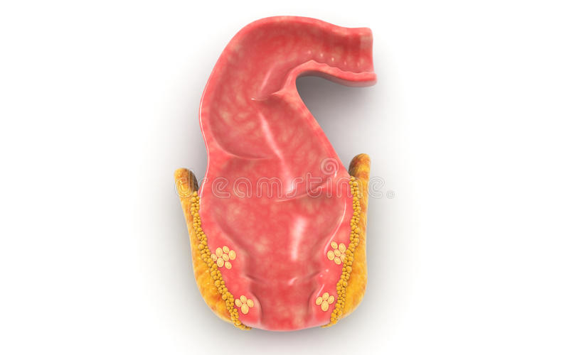Human rectum. 3d Human rectum isolated on white background royalty free stock photography