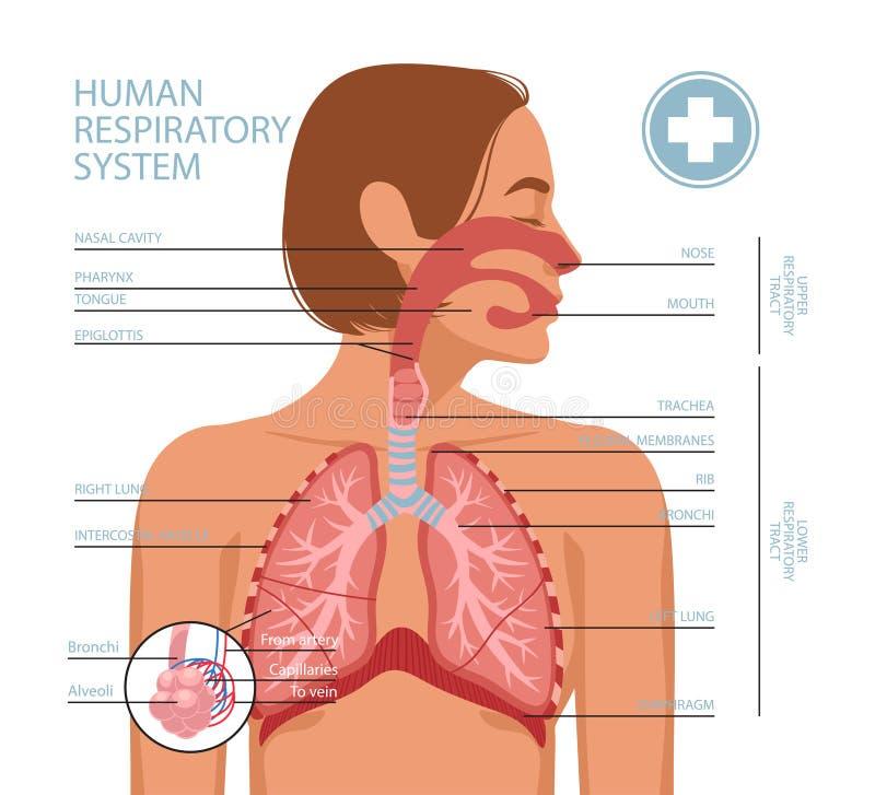 Free Human Respiratory System Stock Photo - 181526360