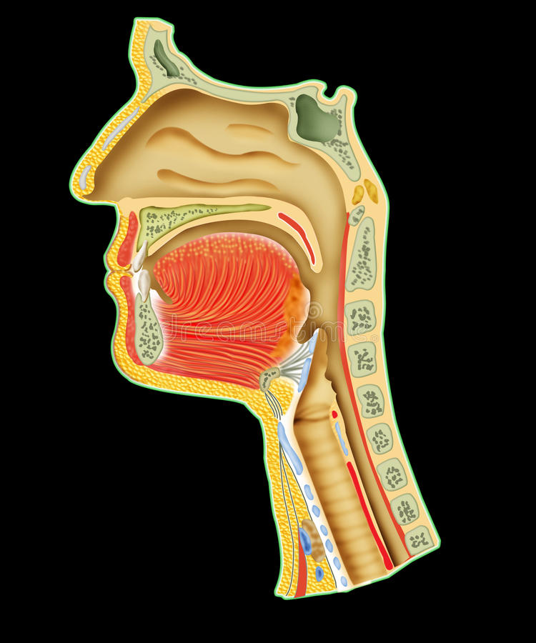 Human respiratory system. Cross section part of head in black dark background royalty free illustration