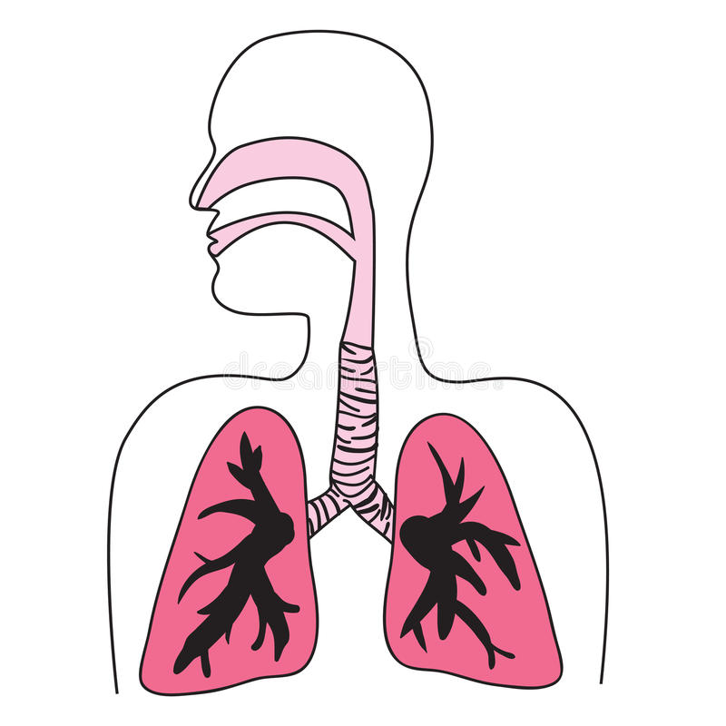 Human Respiratory System Diagram Stock Illustration Illustration
