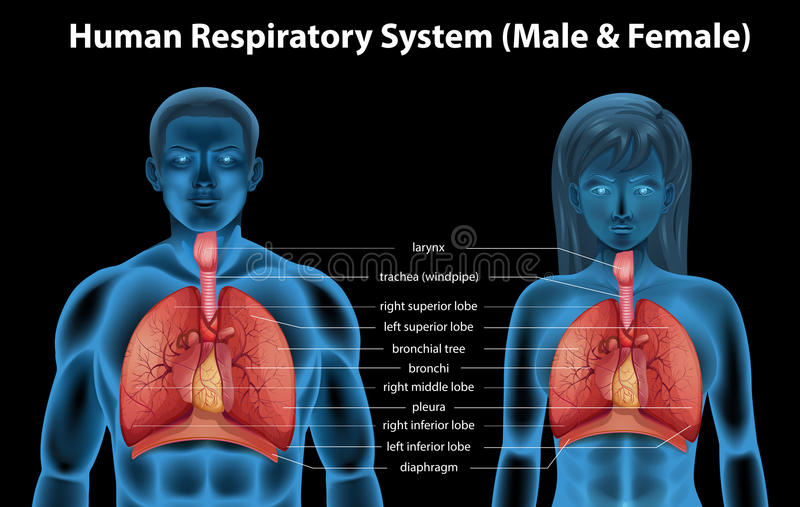 Human Respiratory System Stock Vector  Illustration Of