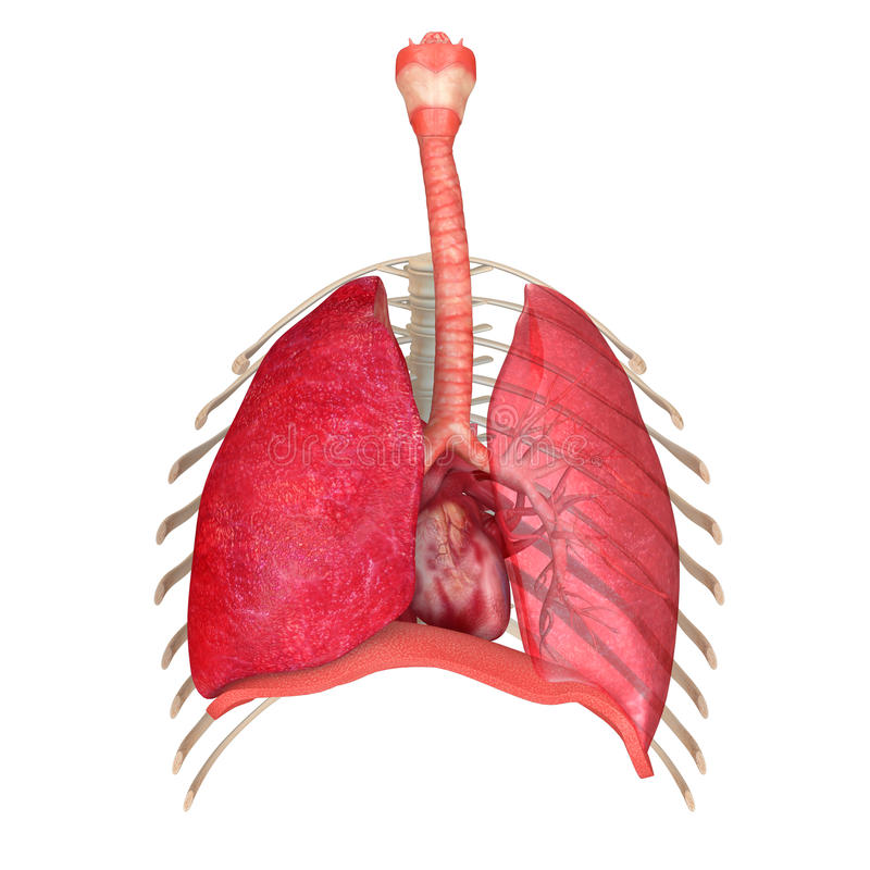 Respiratory System With Skeleton Anterior View Stock Illustration