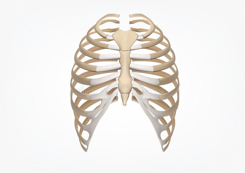 Human Rib 3D Illustration of Human Skeleton Rib Cage Anatomy Front view vector illustration