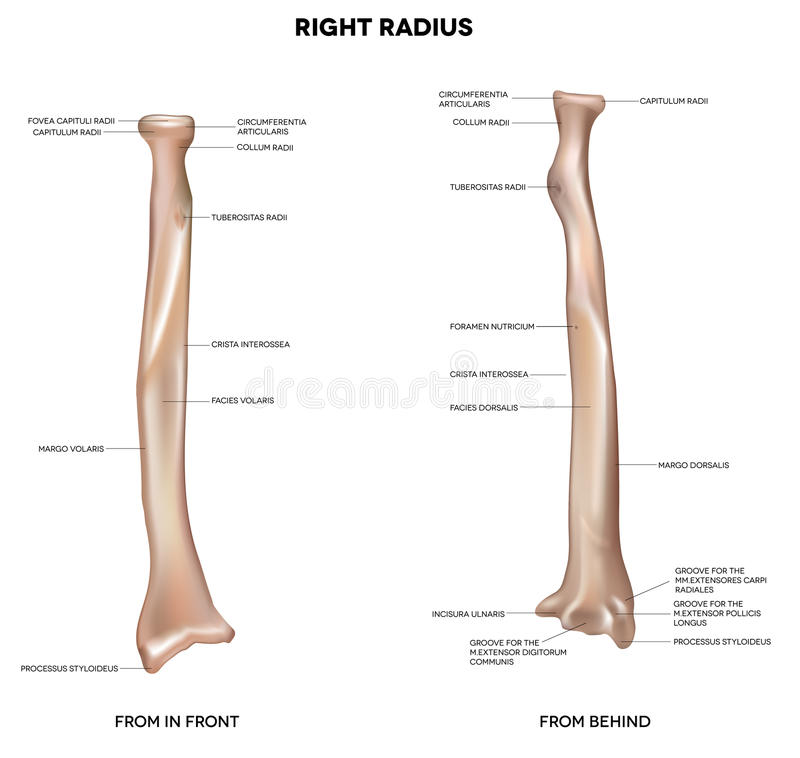 Human right radius, bone. Radius. Human right radius, bone. Detailed medical illustration. Latin medical terms. Isolated on a white background stock illustration