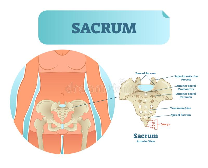 Human sacrum bone structure diagram, anatomical vector illustration labeled scheme with bone sections. Health care informational poster royalty free illustration