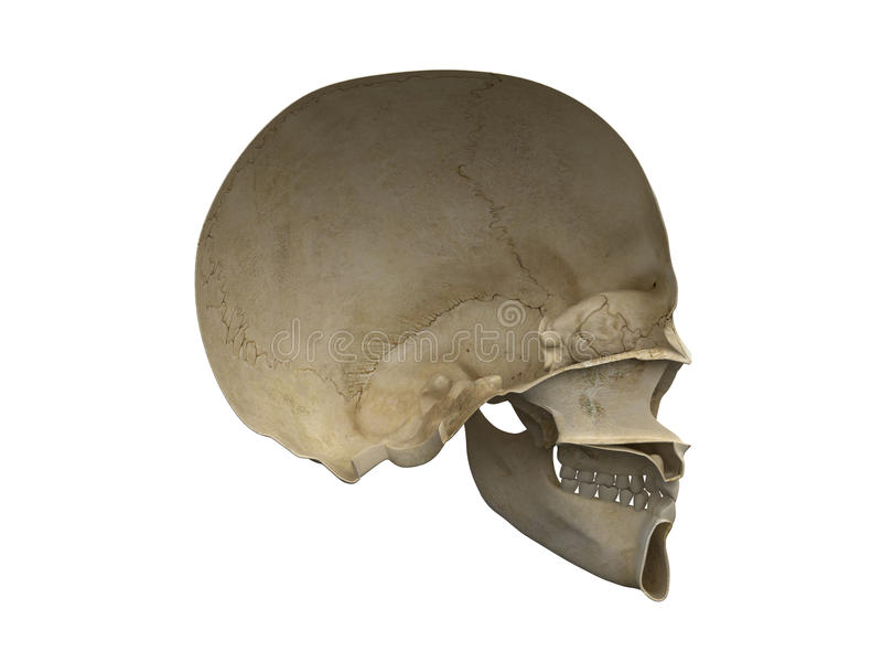 Human scull vertical section side view royalty free illustration