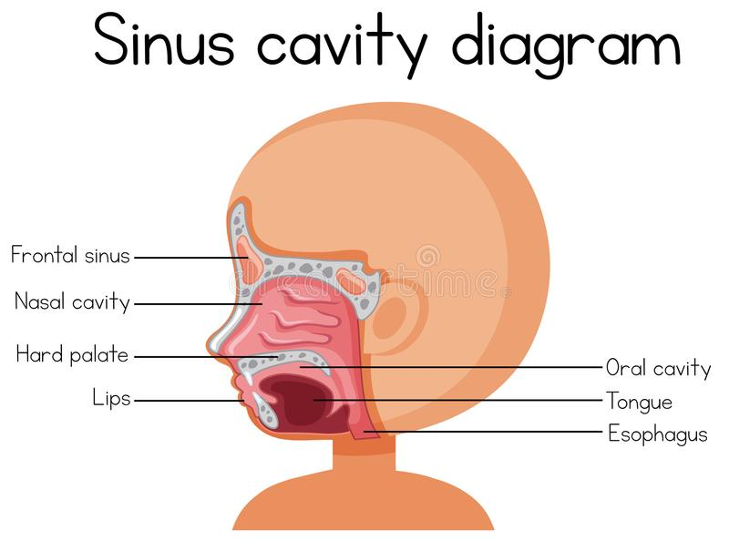 Human Sinus Cavity Diagram Stock Vector Illustration Of Picture