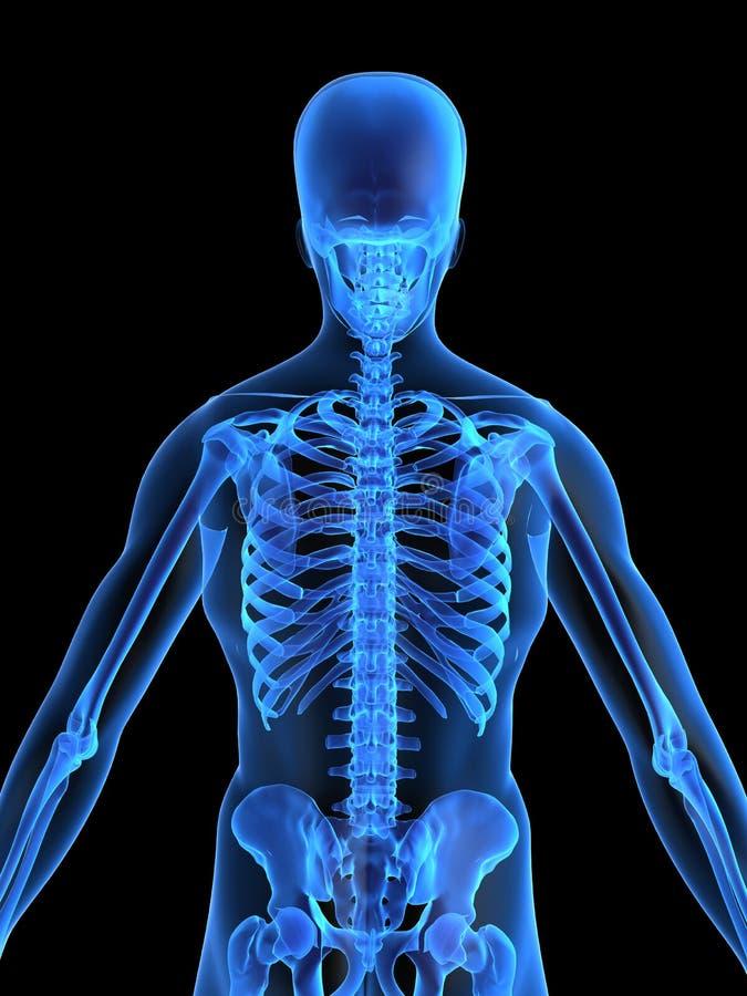 Human skeletal back stock illustration