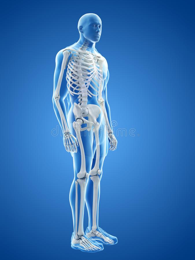 The human skeletal system royalty free illustration