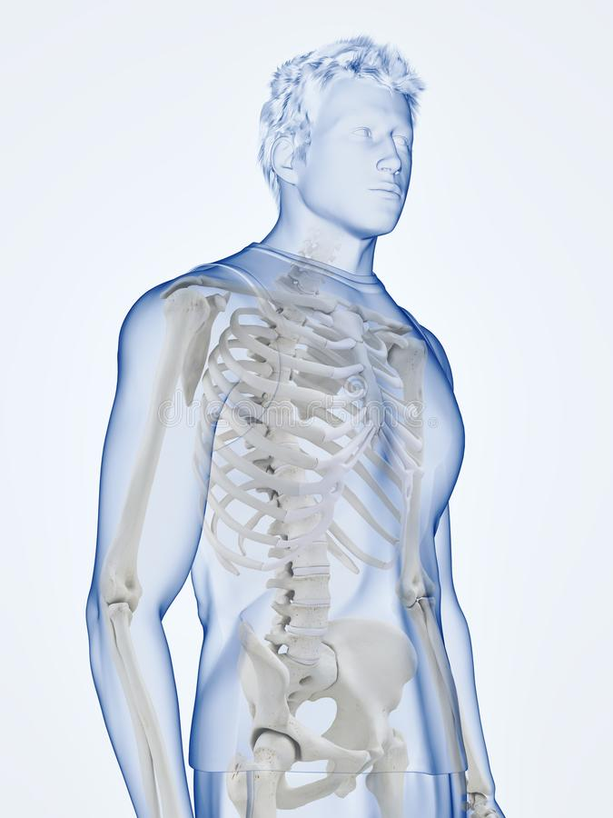 the human skeletal system stock illustration