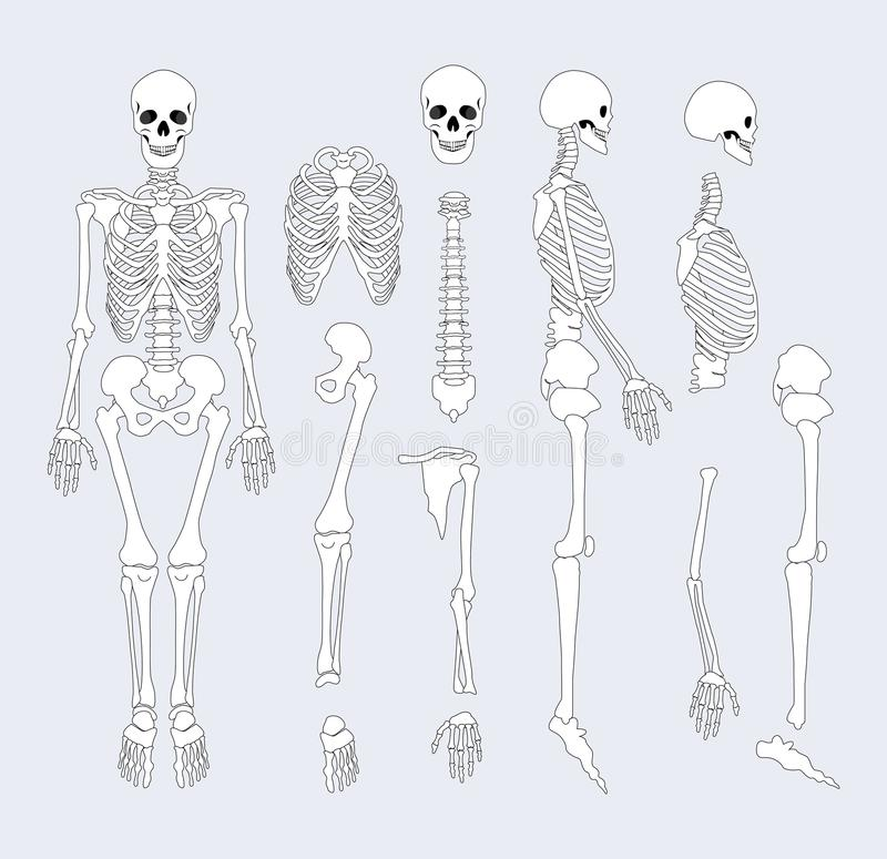 Human Skeletal System Parts Vector Illustration vector illustration