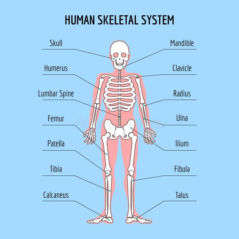Human skeletal system. Vector human bone anatomy illustration vector illustration