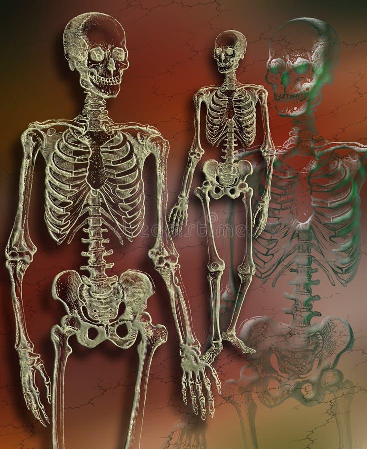Download Human Skeleton stock illustration. Illustration of physiology - 15393884