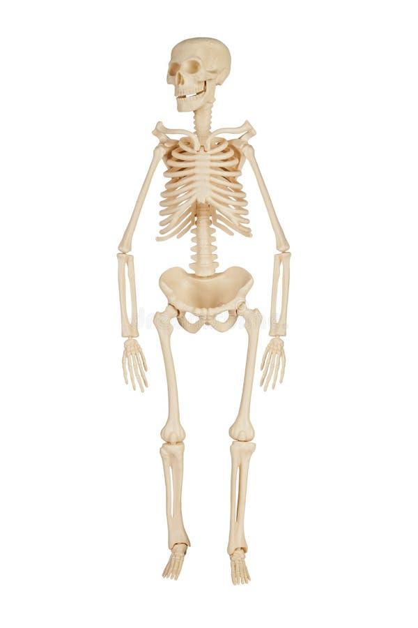 Free Human Skeleton Stock Photo - 25185790