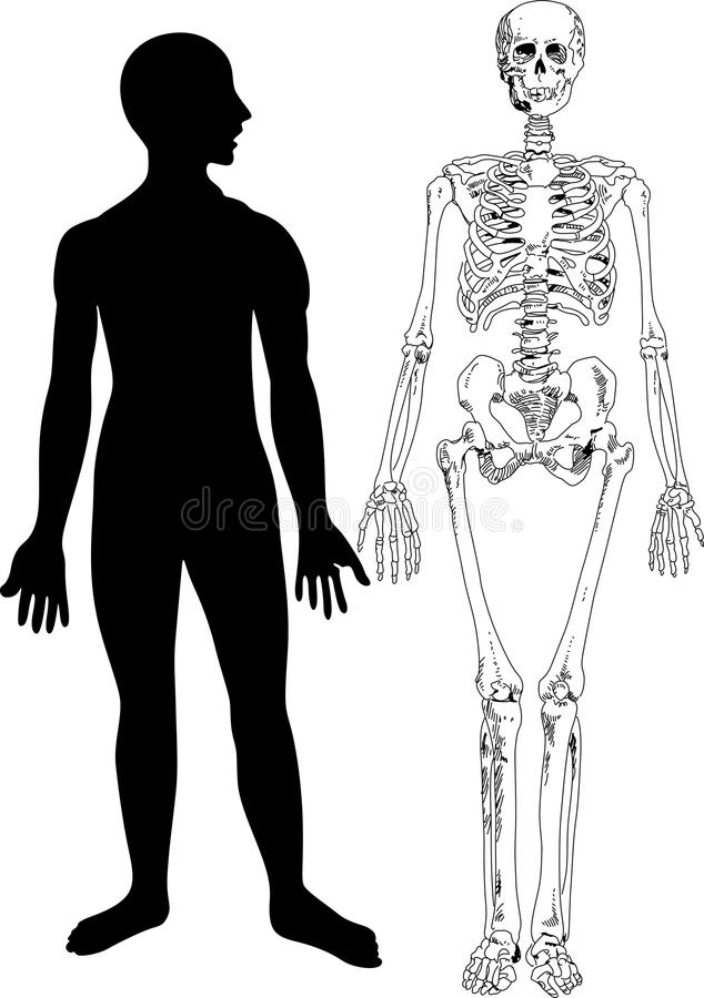 Download Human Skeleton stock vector. Image of illustration, skeleton - 27567048