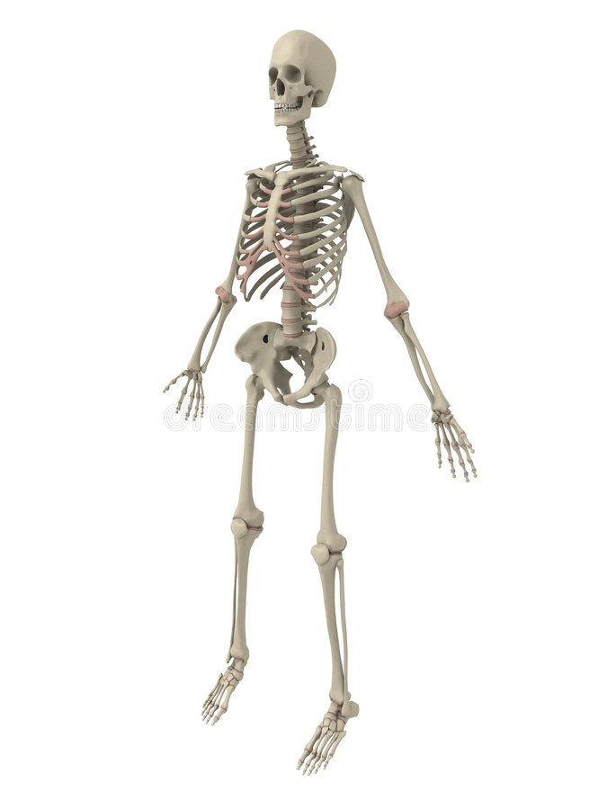 Human skeleton stock illustration