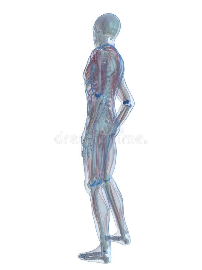Download Human skeleton stock illustration. Illustration of ilium - 7750328