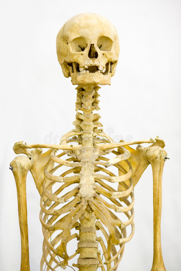 Human skeleton. Isolated on white stock photography