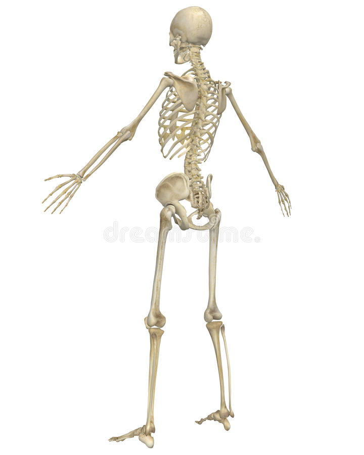 human skeleton anatomy angled rear view royalty free stock photos, Skeleton