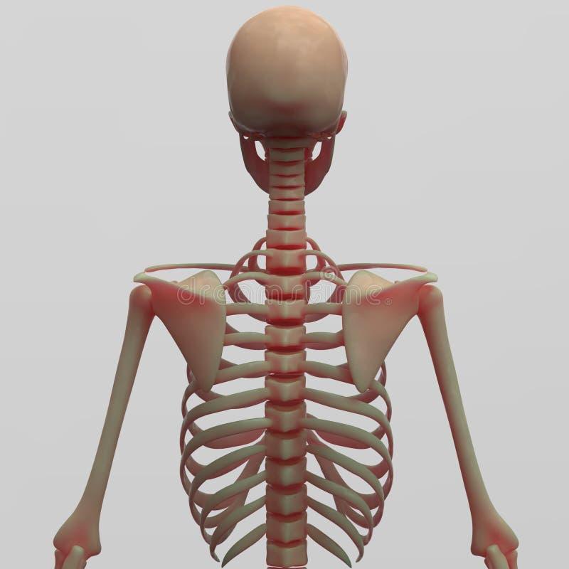 Human Skeleton Back Side View Stock Illustration Illustration Of