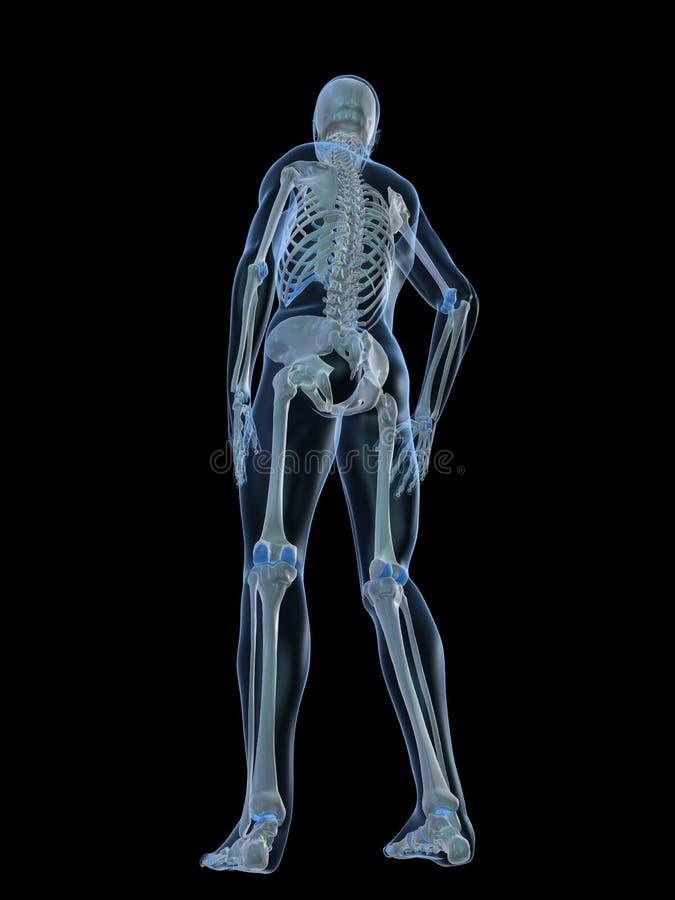 Download Human Skeleton- Backside Stock Image - Image: 7750131