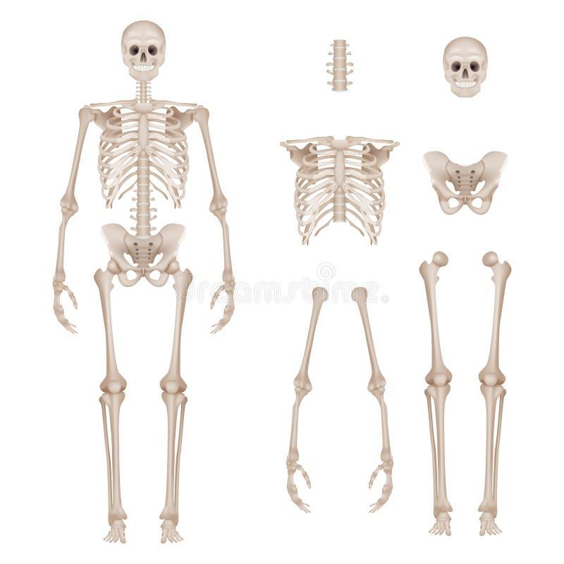 Human skeleton. Body parts skull bones hands foot spine anatomy detailed realistic vector illustration royalty free illustration