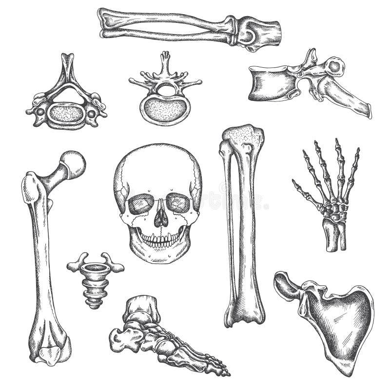 Human skeleton, bones and joints. Vector sketch isolated illustration. Anatomy symbols set. Medical orthopedic pictures vector illustration
