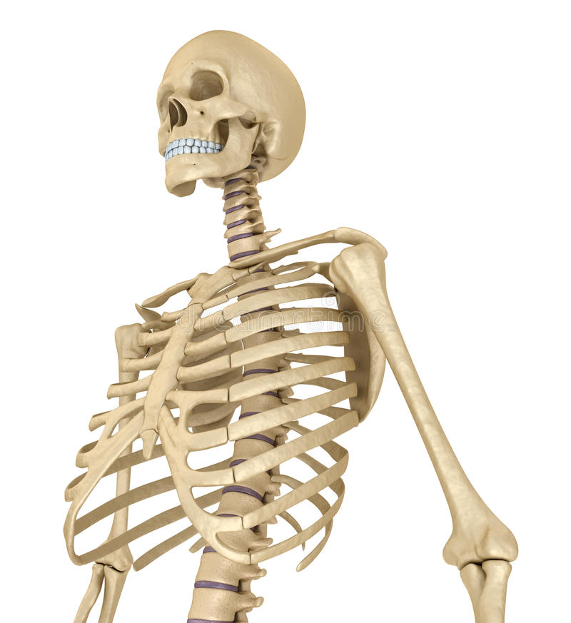 Human skeleton, breast chest. Isolated on white. Medically accurate illustration. Human skeleton, breast chest. Isolated on white. Medically accurate 3D vector illustration