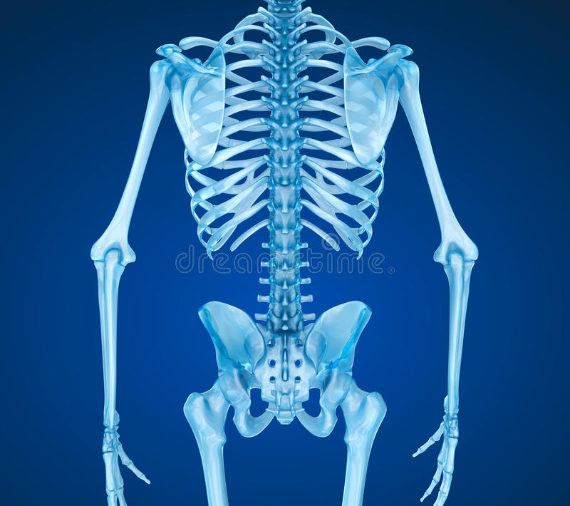 Human skeleton: breast chest. Medically accurate 3D illustration royalty free illustration