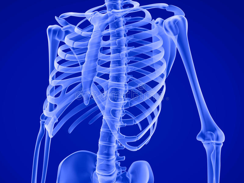 Human skeleton: breast chest. Medically accurate 3D illustration. Human skeleton: breast chest. Front view. Medically accurate 3D illustration royalty free illustration