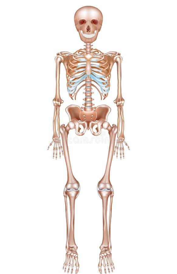 Human Skeleton Stock Vector Illustration Of Frontal 54350490