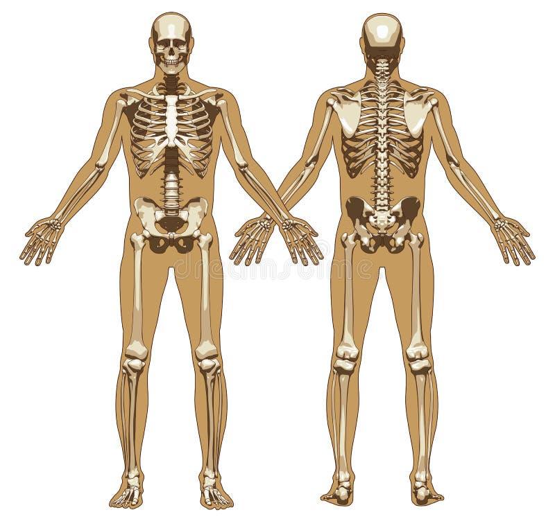 Human Skeleton On Flat Body Background Stock Vector ...