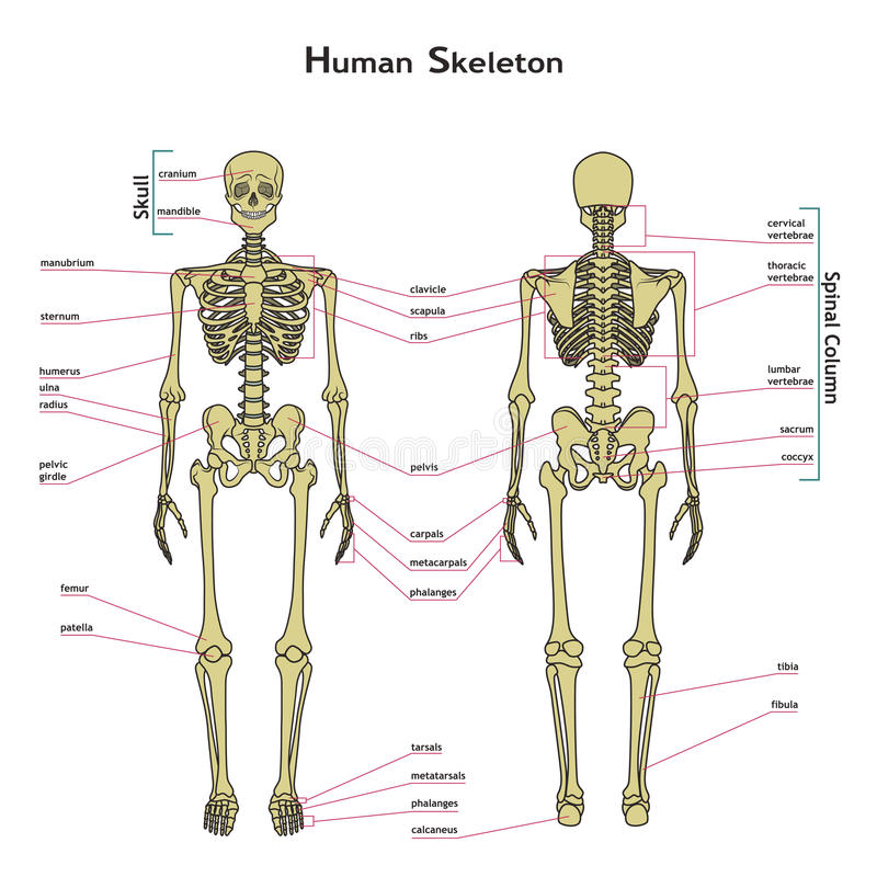 Human Skeleton Front And Rear View With Explanatations Stock
