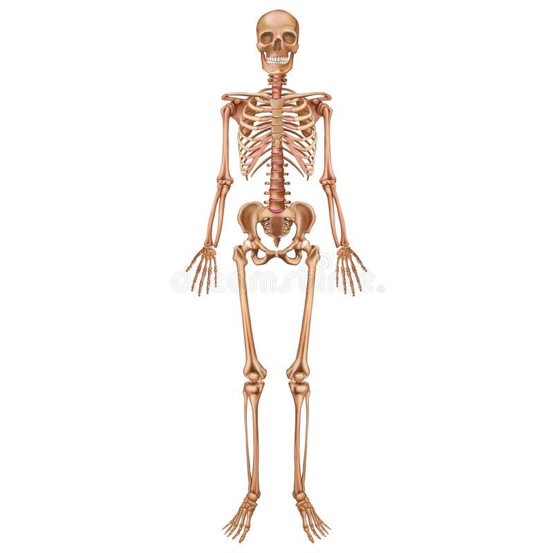 The human skeleton. Front view. Anatomy. vector illustration