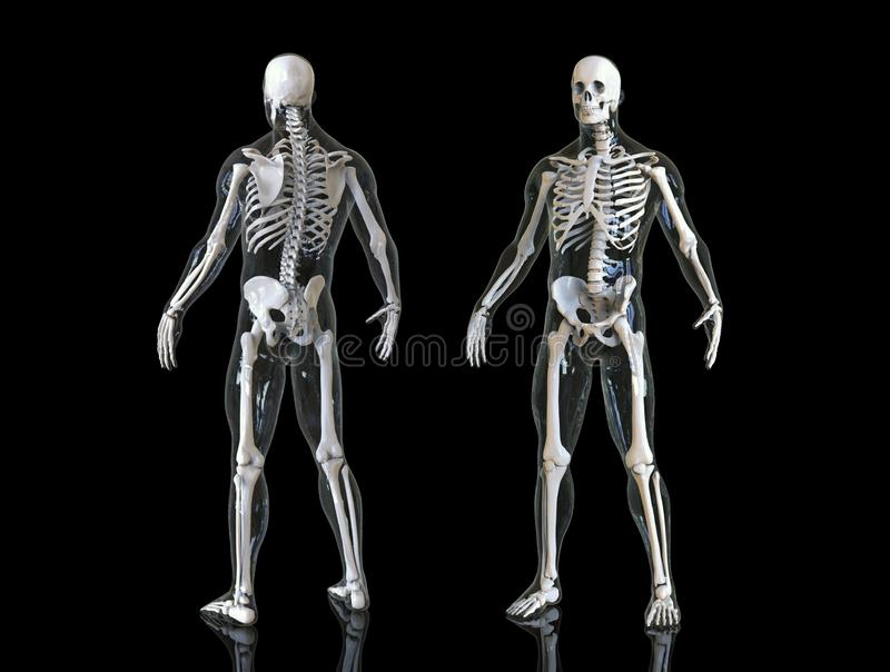 Human skeleton isolated in background , 3d render royalty free illustration