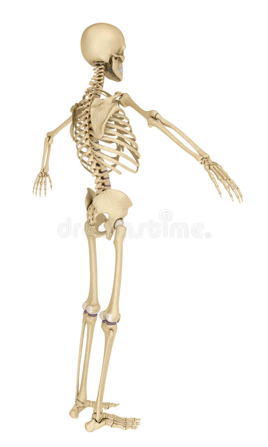 Human skeleton isolated , Medically accurate illustration . vector illustration