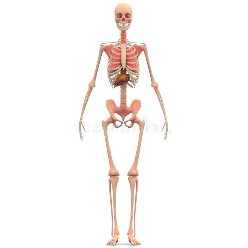 Human Skeleton Lungs with Liver vector illustration