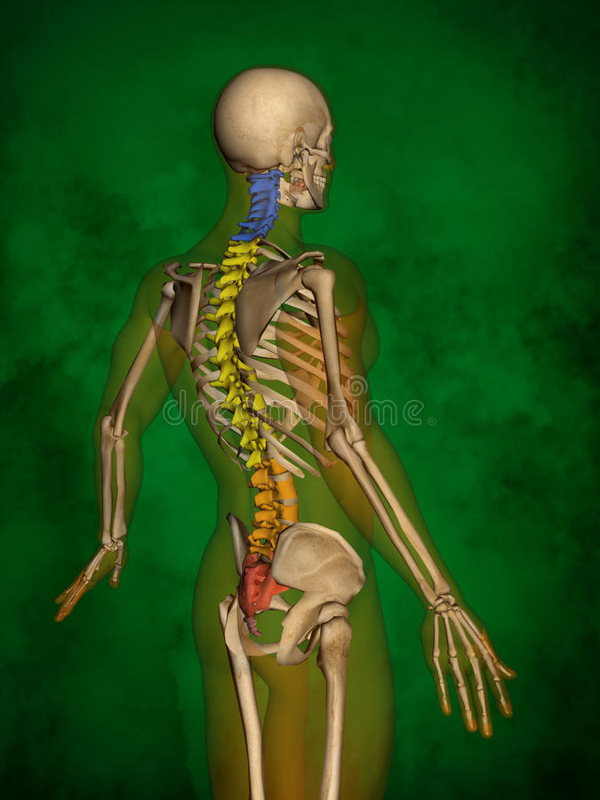 Human skeleton M-SK-POSE Bb-56-4, Vertebral column, 3D Model. Human Poses, Human Skeleton, Vertebral column, 3D Model, Grren Background vector illustration