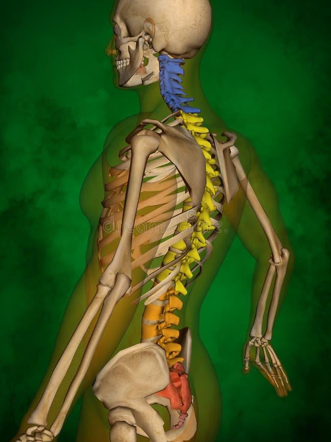 Human skeleton M-SK-POSE Bb-56-9, Vertebral column, 3D Model. Human Poses, Human Skeleton, Vertebral column, 3D Model, Grren Background vector illustration